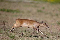 Muntjac, Muntiacus reevesi,. Single mammal on field, Warwickshire, July 2014 Stock Photos