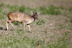Muntjac, Muntiacus reevesi,. Single mammal on field, Warwickshire, July 2014 Stock Images