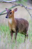 Muntjac,  Muntiacus reevesi. Single mammal on grass, Midlands Stock Photography