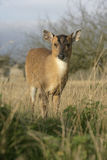 Muntjac,  Muntiacus reevesi. Single mammal on grass, Midlands Stock Photo