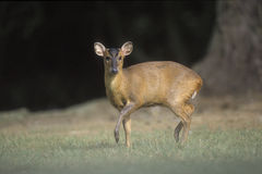 Muntjac, Muntiacus reevesi, Royalty Free Stock Photos