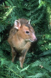Muntjac, Muntiacus reevesi,. Single mammal on grass Stock Photo