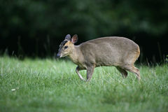 Muntjac, Muntiacus reevesi,. Single mammal on grass Royalty Free Stock Photo