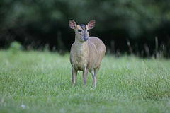 Muntjac, Muntiacus reevesi,. Single mammal on grass Royalty Free Stock Photos