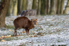 Muntjac; Muntiacus reevesi Stock Photography