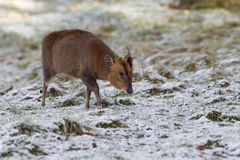 Muntjac; Muntiacus reevesi. Muntjac, Muntiacus reevesi, single mammal on snowy grass, Warwickshire, February 2013 Royalty Free Stock Photos