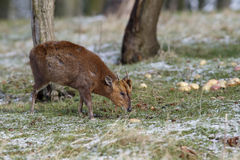Muntjac; Muntiacus reevesi. Muntjac, Muntiacus reevesi, single mammal on snowy grass, Warwickshire, February 2013 Royalty Free Stock Image