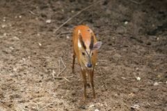 Muntjac Stock Photography