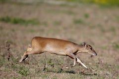 Muntjac, reevesi del Muntiacus, Fotografie Stock