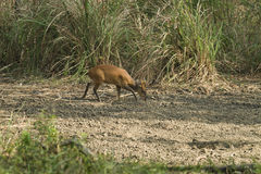 Muntjac in Thong Pha Phum National Park Stock Images