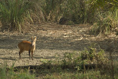Muntjac in Thong Pha Phum National Park Stock Image