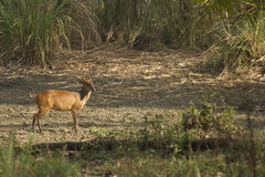 Muntjac in Thong Pha Phum National Park Royalty Free Stock Photo