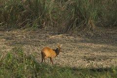 Muntjac w paska Pha Phum parku narodowym zdjęcie royalty free