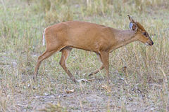 Muntjac Wandering the Woods Stock Photography