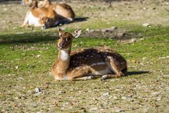 Muntjacs, also known as barking deer and Mastreani deer stock image