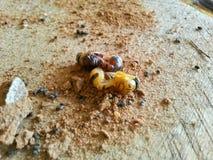 Muore lo scarabeo Fotografie Stock Libere da Diritti