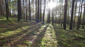 Muovendosi attraverso il chiarore profondo della lente di luce solare del colpo della foresta POV dell'pino-abete rosso video d archivio