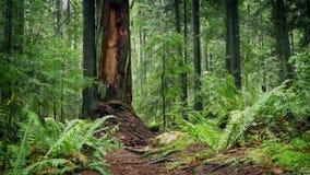 Muovendosi dopo il grande tronco di albero nella foresta