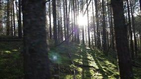 Muovendosi in salita nella foresta profonda dell'pino-abete rosso di fronte al colpo del sole POV stock footage