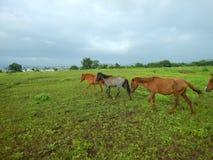 Muoversi dei cavalli Immagini Stock