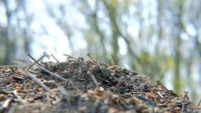 Muoversi del lavoro occupato delle formiche di environmenta della fauna selvatica della natura stock footage