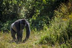Muoversi della gorilla Immagini Stock Libere da Diritti