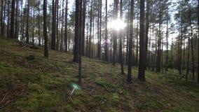 Muoversi regolare attraverso la foresta profonda dell'pino-abete rosso verso il colpo di luce solare POV stock footage