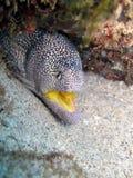 Murène àgueule jaune - κίτρινο στόμα moray Στοκ εικόνα με δικαίωμα ελεύθερης χρήσης