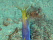 Murène ruban - moray da fita Fotografia de Stock Royalty Free