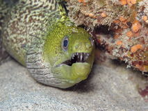 Murène ondulée - Undulated moray Royalty Free Stock Photos