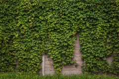 Mur avec le lierre vert Images libres de droits