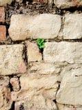Mur avec le trèfle Photographie stock libre de droits