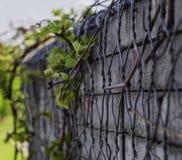 Mur avec les éléments concrets envahis avec des vignes images libres de droits