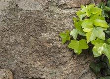 mur avec les feuilles vertes Photos libres de droits