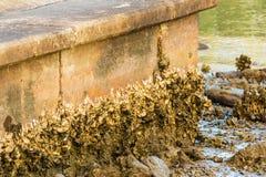 Mur couvert d'huîtres Photographie stock libre de droits