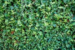 Mur couvert dans des feuilles Images libres de droits