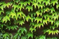 Mur couvert de feuilles de raisins de fille Photographie stock libre de droits
