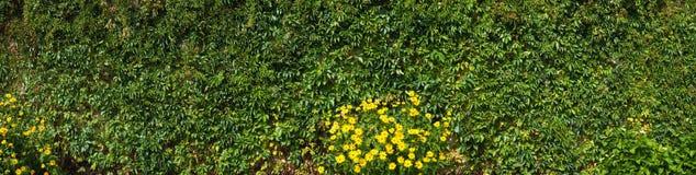 Mur couvert de lierre cinq-leaved d'usine de plante grimpante de Virginie images stock