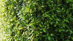 Mur de banian Photographie stock libre de droits