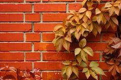 Mur de briques et et feuilles de fond sauvage de raisins Image libre de droits