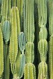 Mur de cactus Images stock