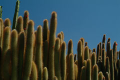 Mur de cactus, Fuerteventura Image stock