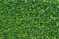 Mur de congé de vert de banian Image libre de droits