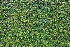 Mur de feuille photo libre de droits