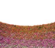 Mur de fleur de pensée avec l'espace vide blanc Image libre de droits