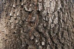 Mur de fond de texture d'écorce d'arbre Images libres de droits