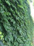Mur de groupe d'usine de vigne Photographie stock