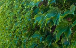Mur de lierre vert Image libre de droits