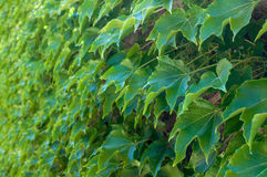 Mur de lierre vert Photographie stock libre de droits
