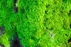 Mur de mousse de renne, décoration verte de mur faite en rangiferina de Cladonia de lichen de renne, recolored pour assortir Pant photo stock